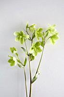 Hellebore on white