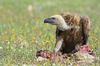Griffon vulture perched on the ground in the vicinity of a cadaver, Extremadura, Spain.