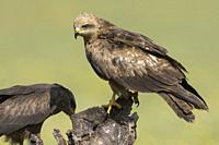 Black kite (Milvus migrans) in a meadow in Extremadura, Spain.