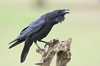 Common raven, (Corvus corax) on a trunk in the meadow of Extremadura, Spain.