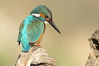 KIngfisher (Alcedo atthis) on an old trunk watching the river before plummeting over a dam, Extremadura, Spain.