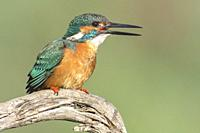 KIngfisher (Alcedo atthis) after catching a crab in the river is swallowing it, Extremadura, Spain.
