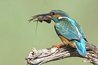KIngfisher (Alcedo atthis) after catching a crab in the river, Extremadura, Spain.