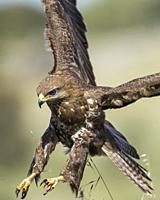 Common buzzard plummeting over its prey, Extremadura, Spain.