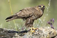 Common buzzard (Buteo buteo) on the rocks in Extremadura, Spain.