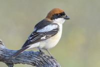 Woodchat shrike (Lanius senator) from his watchtower in the meadow, Extremadura, Spain.