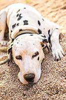Dalmatian dog resting in garden