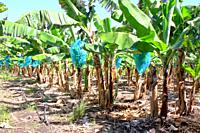 Blue plastic bags protecting bunch of bananas in banana plantation, Guadeloupe, Caribbean islands, France.