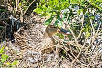 Mother wild duck sits over eggs on the soil in a nest. Duck nest with eggs.