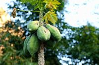 Carica papaya tree growing in the north of Thailand.