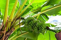 Banana (Musa acuminata) tree, Sumatra, Indonesia.