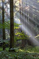 Sunbeam entering rich mixed forest in morning with broken spruces in foreground, Bialowieza Forest, Poland, Europe.
