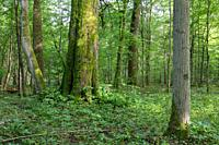 Natural mixed stands of Bialowieza Forest with old linden tree in foreground, Bialowieza Forest, Poland, Europe.