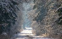 Peaceful wintertime road crosing primeval Bialowieza Forest in sun, Bialowieza Forest, Poland, Europe.