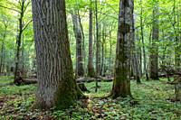 Springtime deciduous stand in morning with old oak tree in foreground, Bialowieza Forest, Poland, Europe.