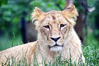 Katanga Lioness Lying in Grass.