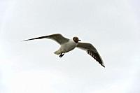 Flying Black-headed gull (Chroicocephalus ridibundus), Schleswig-Holstein, Germany.