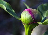 Paeonia lactiflora in Cadalso de los Vidrios. Madrid. Spain. Europe.