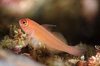 Ringeye Dwarfgoby (Trimma benjamini, Gobiidae family), Baung Penyu (Coral Wall) dive site, near Blue Lagoon, Padangbai, near Candidasa, Bali, Indonesi...