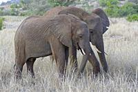 African bush elephants (Loxodonta africana), two young males feeding on dry grass, Kruger National Park, South Africa, Africa.