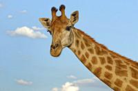 South African giraffe (Giraffa camelopardalis giraffa), adult, animal portrait, Kruger National Park, South Africa, Africa.