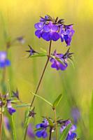 Blue-eyed Mary (Collinsia grandiflora), Camassia Natural Area, West Linn, Oregon.