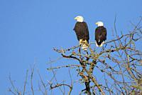 Bald eagle (Haliaeetus leucocephalus), William Finley National Wildlife Refuge, Oregon.