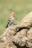 Hoopoe (Upupa epops) on an old trunk, with a worm at the peak, Extremadura, Spain.