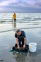 Shrimpers sorting catch from shrimp drag net / dragnet on the beach caught along the North Sea coast at dusk
