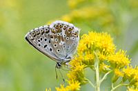 Chalk Hill Blue, Polyommtus coridon. Vlue butterfly with datin baby blue upperwings. Colonuizes in calcareous grasslands to about 2100m. Larval plants...