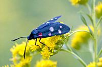 Variable Burnet, Zygaena ephialtes. A black moth with colorful spots: red, yellow, white or mixed. larval host plants: Coronilla varia, Coronilla emer...