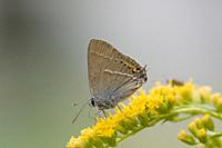 Blue Spot Hairstreak, Satyrium spini. Modest brown Hairsterak butterfly with a white horizontal stripe, orange lunettes and noticeable blue spot on hi...