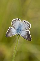 Chalk Hill Blue, Polyommtus coridon. Blue butterfly with dainty powder blue upperwings. Colonuizes in calcareous grasslands to about 2100m. Larval pla...