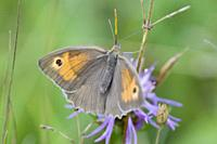 Meadow Brown, Maniola jurtina, large brown butterfly with sexual dimorphism. Larval foodplants are meadow grasses. Adults feed on large range of meado...