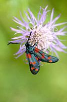 Six-spot Blue, Zygaena filipendulae. A midnight blue moth with six red spots. Wingspan: 30-40mm. Diurnal. Host plants: Lotus corniculatus, L. uliginos...