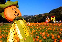 A pumpkin scarecrow stands over a pumpkin patch in Half Moon Bay, California.