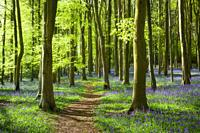 A Bluebell Wood near Wrington in North Somerset, England.