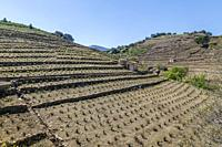 France, Pyrenees Orientales, Cote Vermeille, Collioure, Collioure Vineyard in terrace and shed vineyard.