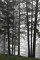 Pine trees in fog, Montana.