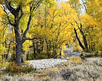 Autumn, Cottonwood Trees, Grand Teton National Forest, Wyoming.