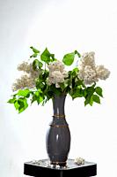 Branches of white lilac in vase on bwhite background. Spring branch of blooming lilac on the table with white background. Fallen lilac flowers on the ...