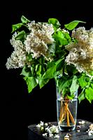 Branches of white lilac in glass vase on black background. Spring branch of blooming lilac on the table with black background. Fallen lilac flowers on...