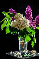 Branches of white and purple lilac in glass vase on black background. Spring branch of blooming lilac on the table with black background. Fallen lilac...