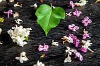 White and purple fallen lilac flowers and green leaf on the black table. Dark background of green leaf and fallen lilac flowers.