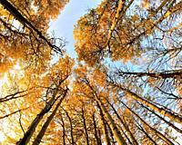 Autumn, Aspen Trees, Grand Teton National Park, Wyoming, United States.