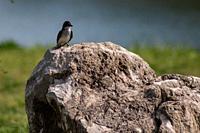 Eastern kingbird sitting on rock at King Jack Park in Webb City, Missouri.