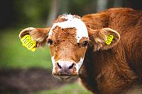 Portrait of a young calf with hanging ears.