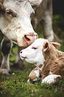 A newborn calf intimate with its mother.