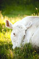 White cow sleeping outside.
