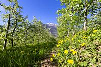 Flowering apple orchards, Villa di Tirano, province of Sondrio, Valtellina, Lombardy, Italy.